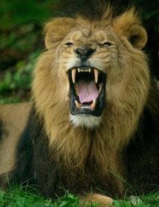 Lion_roaring